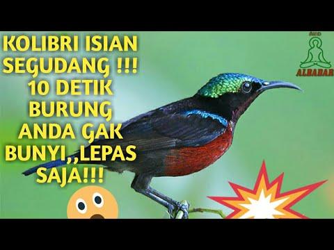 Isian Kolibri ninja (konin) Segudang...burung gak nyaut LEPAS AJA!!! Mp3
