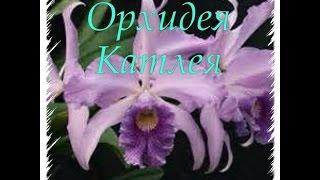 Орхидея Катлея / Cattleya orchid 🌺💕(Это видео об Орхидея Катлея - пересадка, уход, полив, удобрение, освещение..... Так же смотрите мои видео об..., 2015-07-18T14:47:24.000Z)