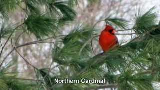 Birds of West Michigan  ~ Backyard Visitors and Surrounding Area