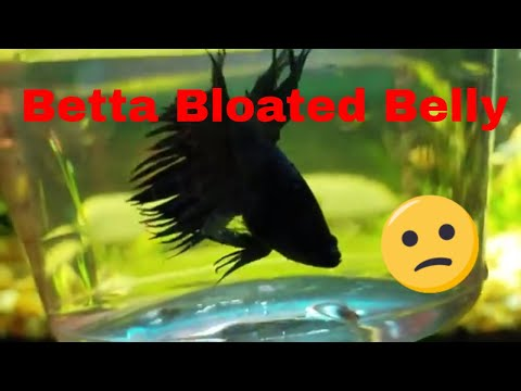 Bloated Betta - Epsom Salt Bath