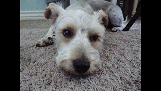 Morey Mac our Snorkie puppy