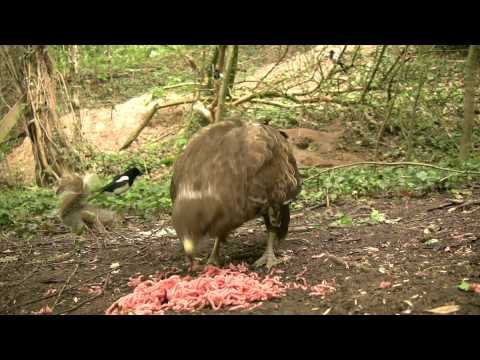 What does a buzzard sound like?