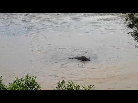 Elephants swimming in Kruger National Park, Berg and Dal camp