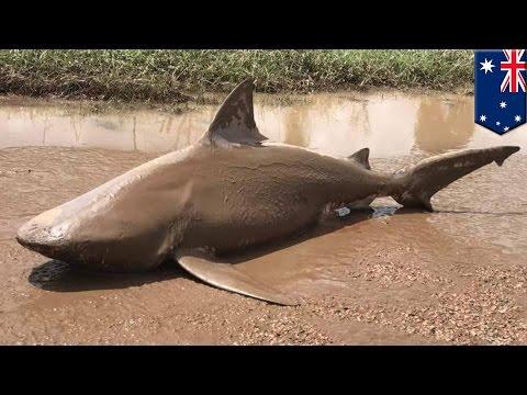 Sharknado is real: Cyclone Debbie picks up bull shark, dumps it in Australia town - TomoNews