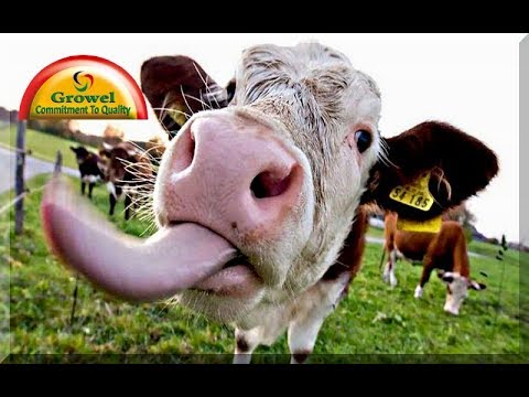 Commercial Dairy Farming - Part 2