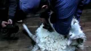 Esquilado de ovejas