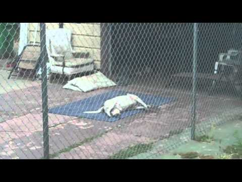 Funny Pitbull Barking Laying on back