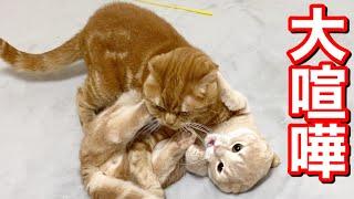 兄猫とのバトルで敗北する短足猫がこちら