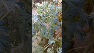 Artemisia absinthium (Wormwood).Afsanteen  in Hindi
