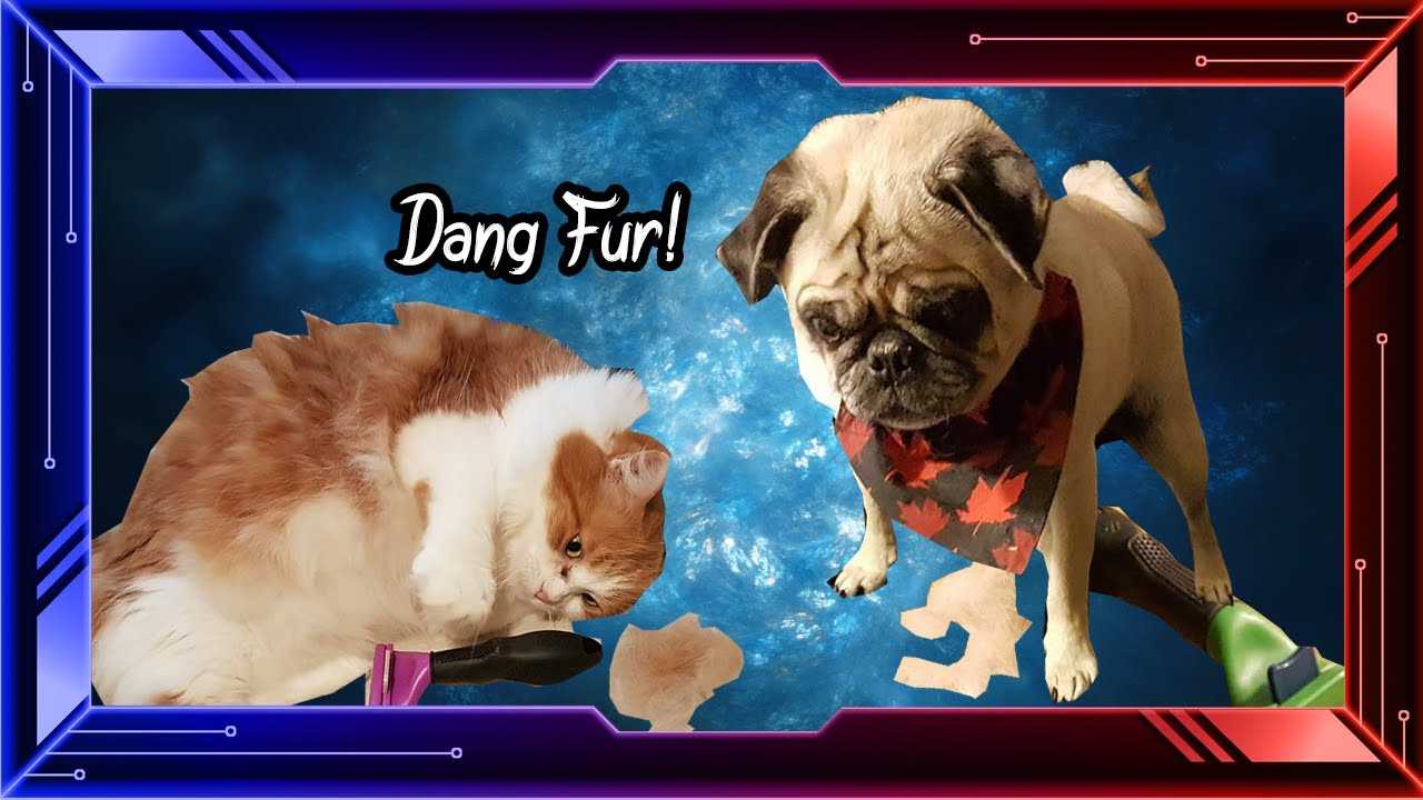 Do Maine Coon Mixes And Pugs Shed Funnycat Tv
