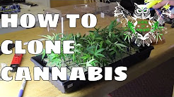 Cloning Tutorial: Clone Cannabis at Home | Step by Step Guide to Taking Marijuana Clones