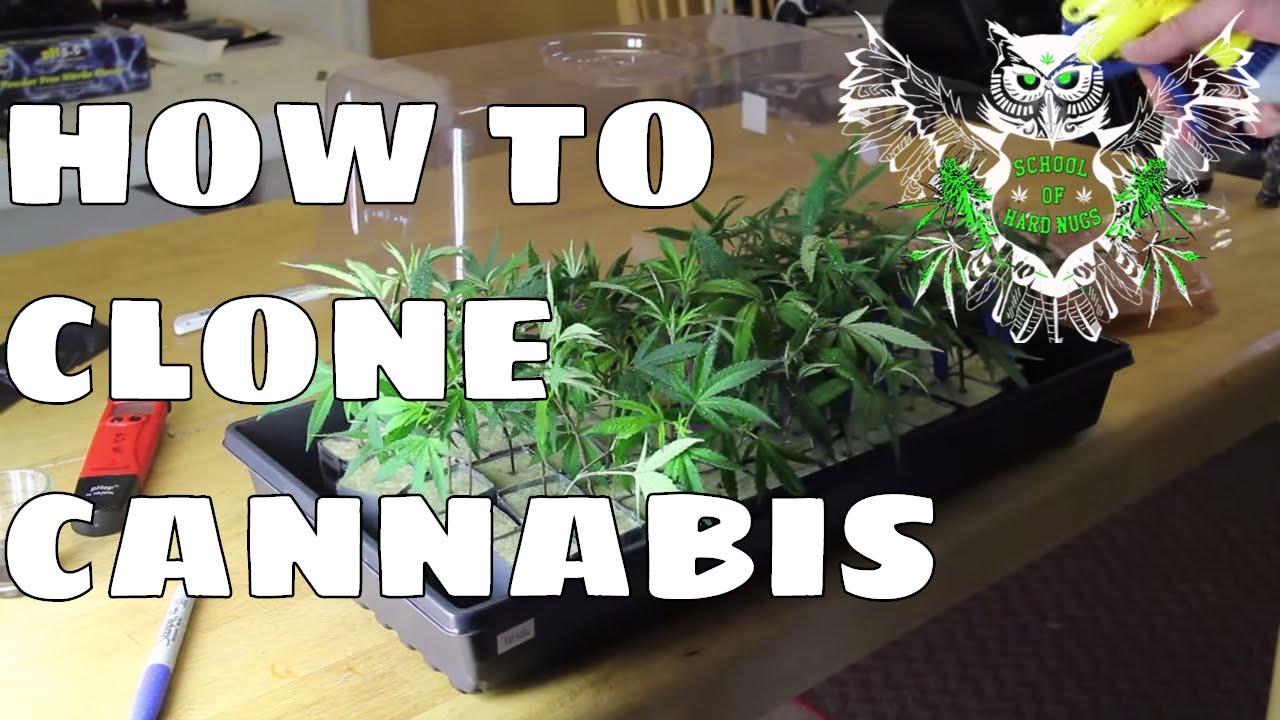 how to take marijuana clones