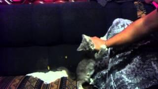 Felino Atacando a Humano...( Bicho atacando a Luizo) jejejeje