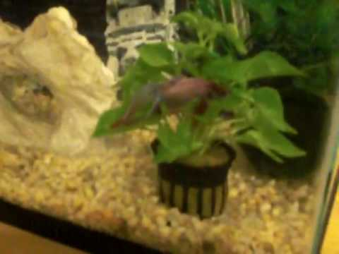 My Betta Fish Sleeping On My Green Hedge Plant Feakin
