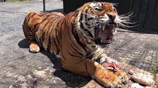 Подборка Приколов 113 - Веселый Тигр - самые угарные приколы