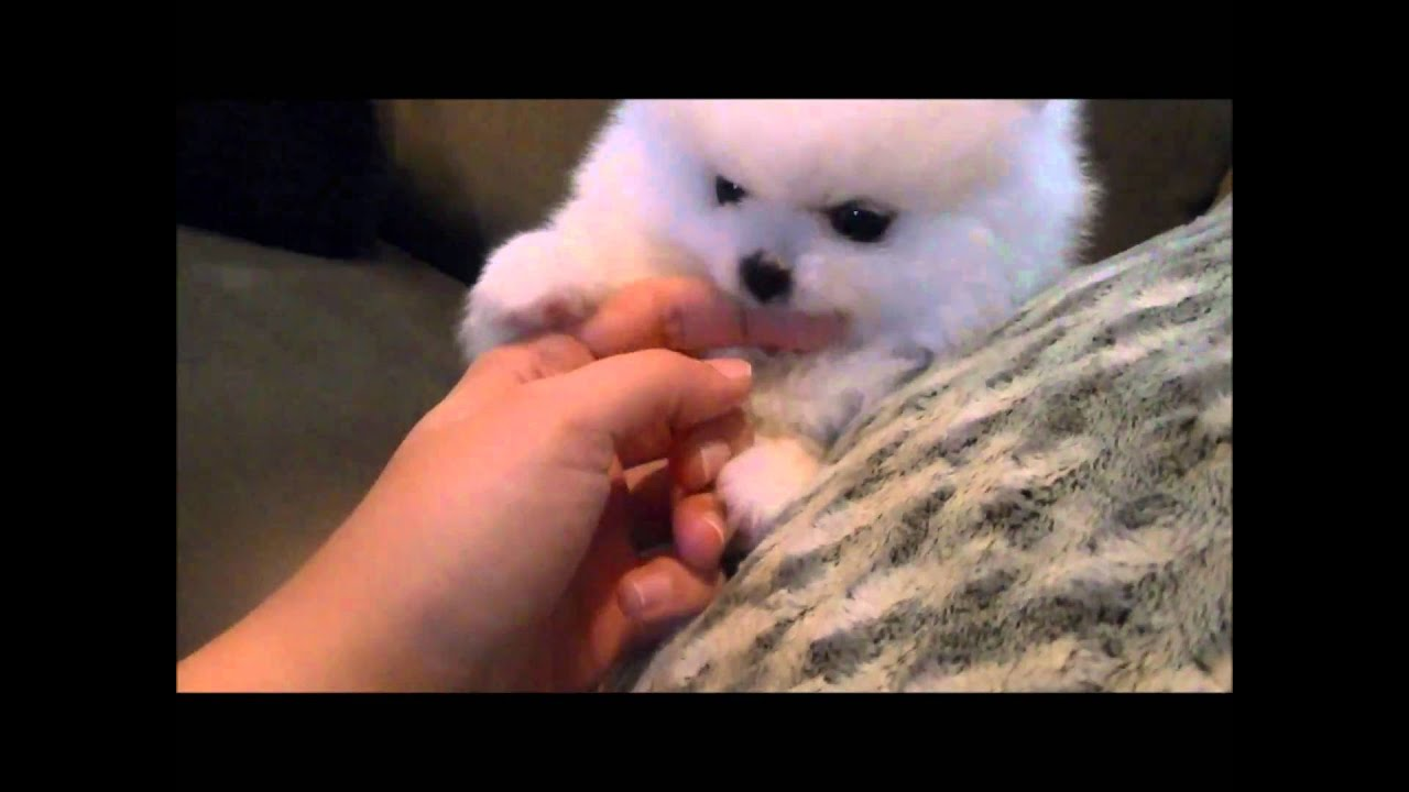 Gorgeous Veronica Teacup White Pomeranian for sale