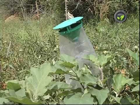 Pheromone Trap for Insect Pest Control