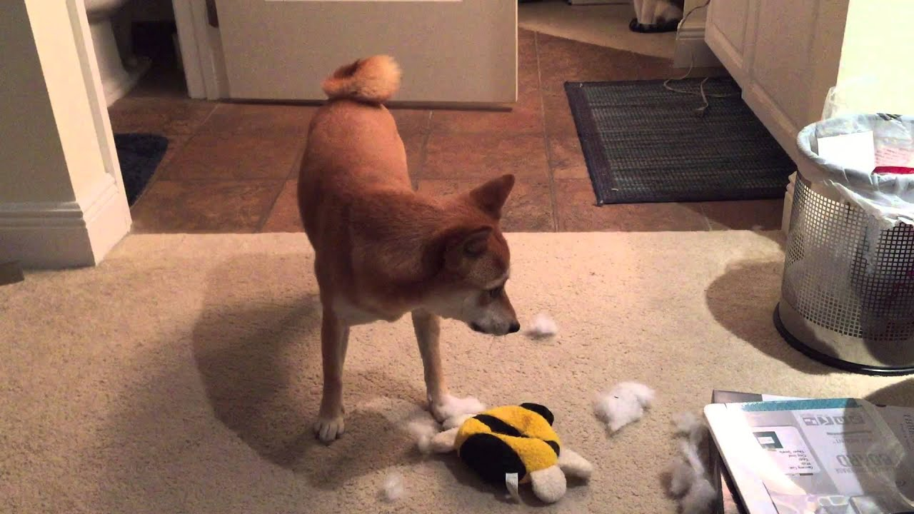 how to play with your shiba inu