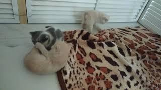 Маленькие британские котята 1,5 месяца