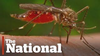 Zika Virus | Could Local Mosquitos Spread Disease?
