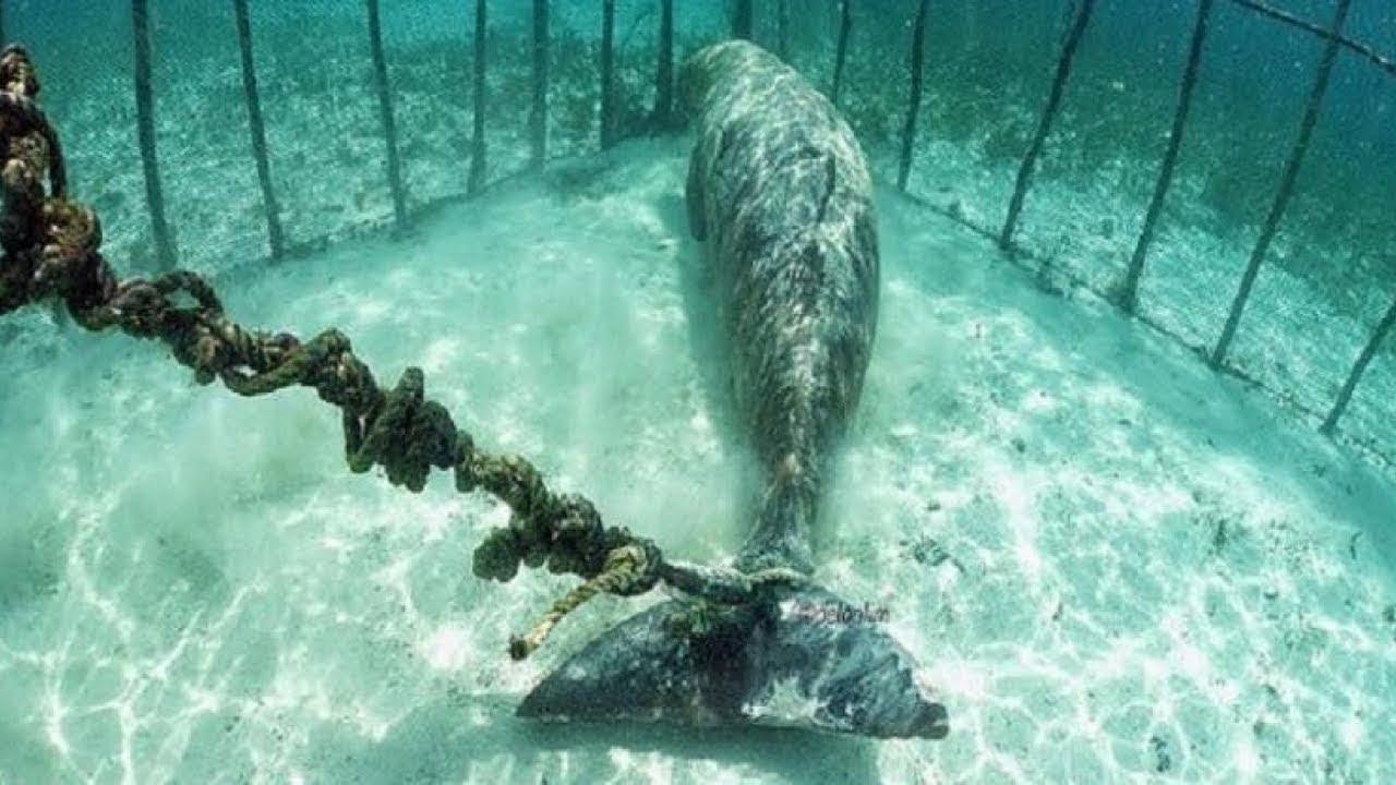 Bu Balinayı Denizin Dibinde Zincirlenmiş Olarak Buldu ve Sebebini Duyunca Kimse İnanamadı