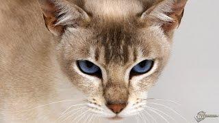 Кошка ходит .  Кошка мелодрама  .