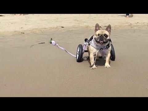 Disabled Dog Lives Best Life With Loving Owner