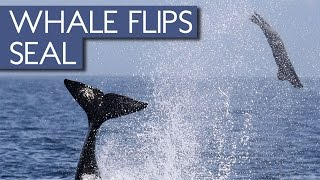 Killer Whale Flips Seal Into the Air