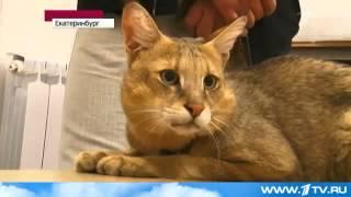 Болотная рысь или камышовый кот   живет в квартире