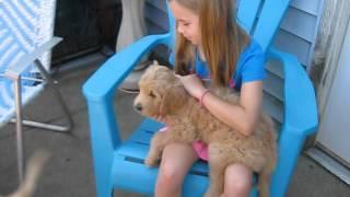 Ella Our Goldendoodle Surprise!