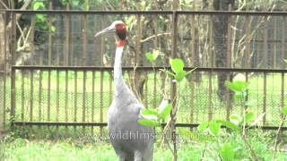 Sarus Crane : sad and captive at Kolkata zoo