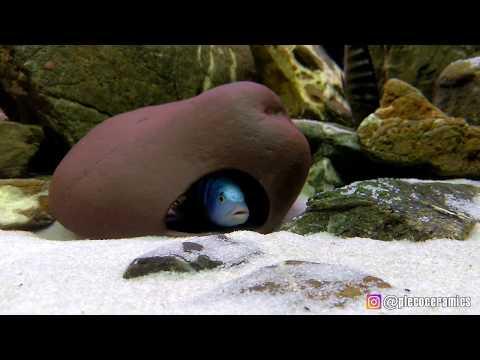 Cichlid Stones, Testing With Malawi Cichlids | Камни для цихлид, тест с малавийцами