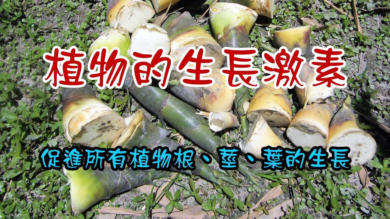 賀爾蒙液肥~竹筍尖~