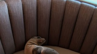 Raw: Sea Lion Found in San Diego Restaurant