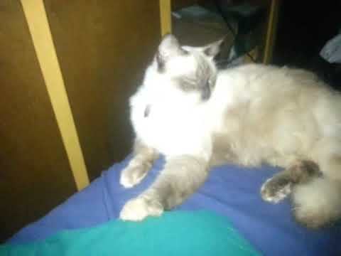 Balinese cat?or a Himalayan Siamese ragdoll?(2)