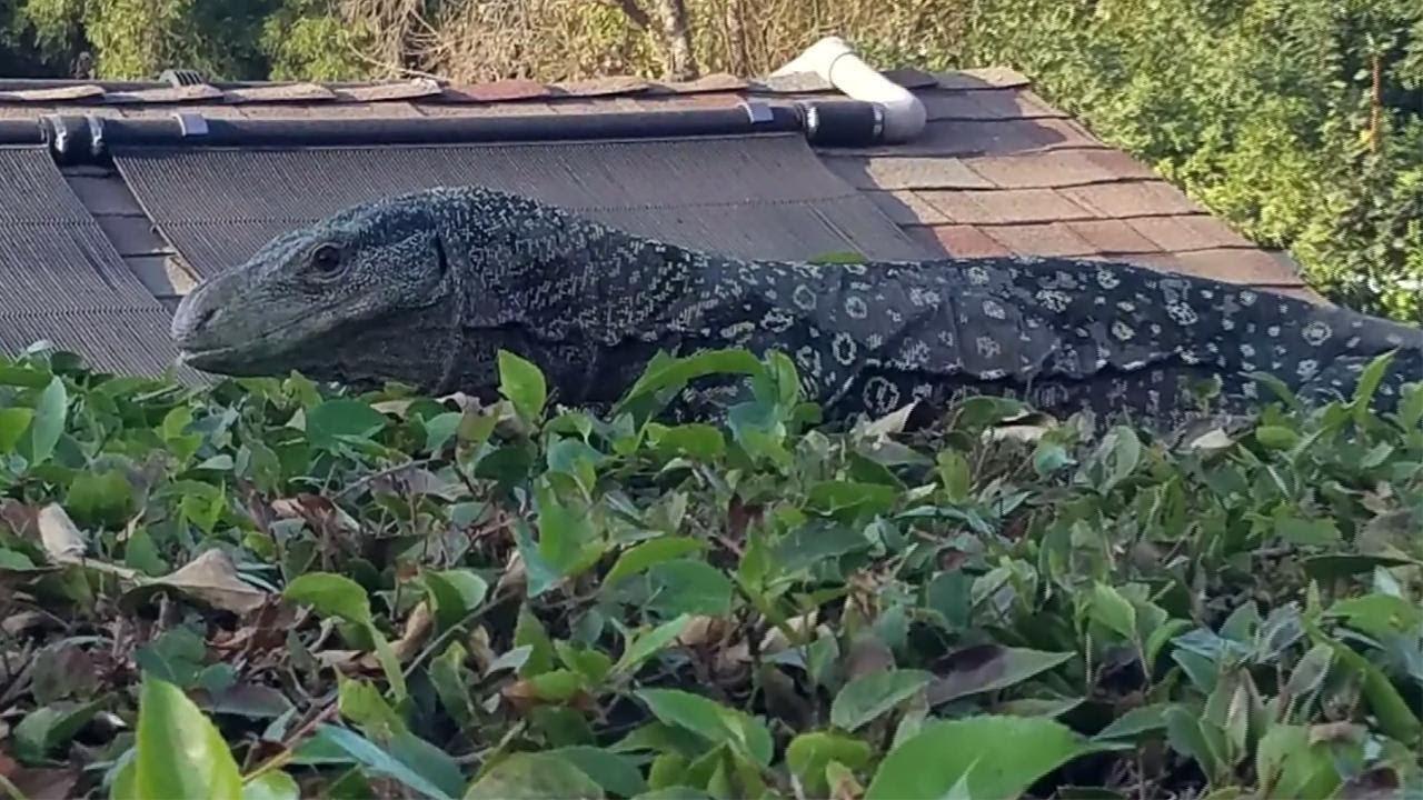 california man finds massive crocodile lizard in backyard youtube