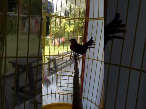 Kolibri wulung gacor isian kenari nembak joss gandosss