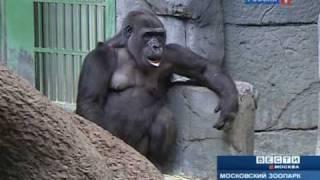 Детёныш гориллы