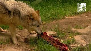 Oldest Mexican Wolf in Zoo Care Turns 17 - Cincinnati Zoo