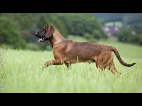 Hanover Hound - medium size dog breed