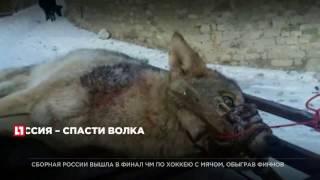 На Avito выставили на продажу связанного раненого волка