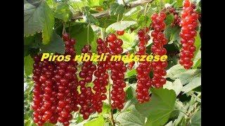 ribizli kezelése a paraziták számára)