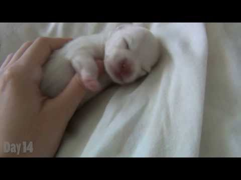 Watching a Puppy Grow - The first 14 days - Newborn Pomeranian Puppy
