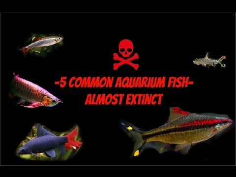 5 Common Aquarium Fish Almost Extinct In Wild