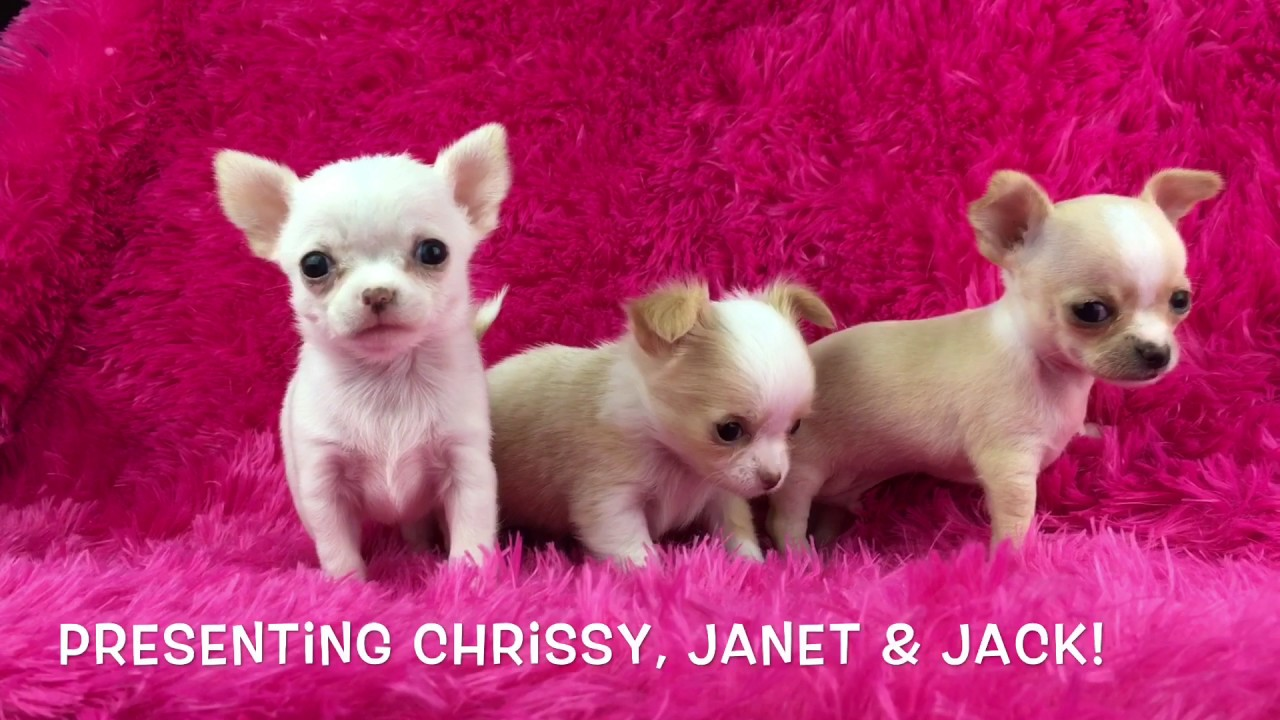 apple head chihuahua puppies applehead chihuahua puppies los angeles ca youtube 1402