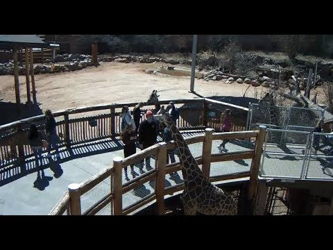 Cheyenne Mountain Zoo Outdoor Giraffe Cam2 thumbnail
