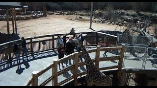 Cheyenne Mountain Zoo Outdoor Giraffe Cam2