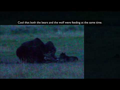 Yellowstone Bear & Wolf Feeding Together!