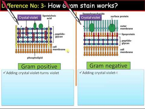 Difference Between Gram Positive and Gram Negative Bacteria ...