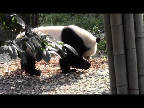 China 2012: Große Pandas In Der Giant Panda Breeding Research Base (Xiongmao Jidi)